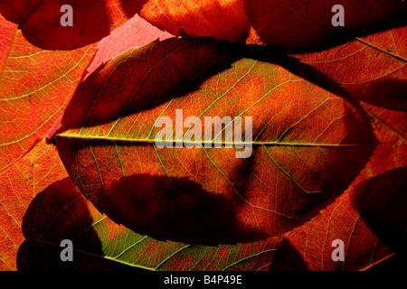 """""""Herbst-Blatt-Hintergrundbeleuchtung"""" - Stockfoto"""