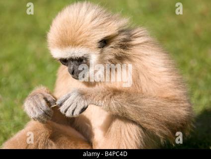 Weiß übergab Gibbon - Stockfoto