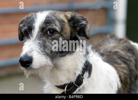 2000er Jahre Lurcher Core05 Hund Haustier Tiere Hunde - Stockfoto