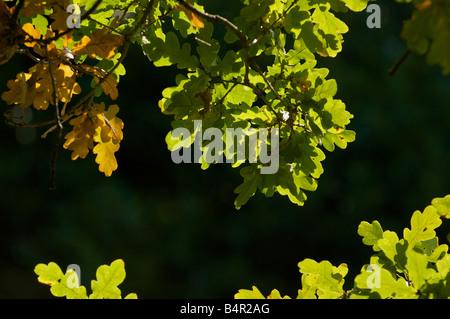 Eiche Blätter Hintergrundbeleuchtung im Herbst Stockfoto