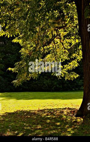 Eiche Baum Hintergrundbeleuchtung im Herbst mit braun goldene Blätter in einer Parklandschaft Stockfoto