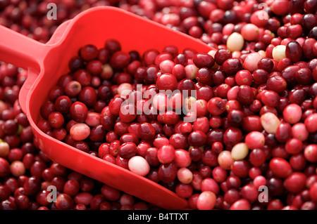 Frische Cranberries in Schaufel Nahaufnahme - Stockfoto