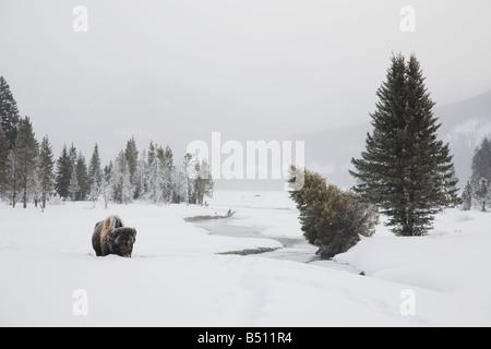 Amerikanische Bisons Buffalo Bison Bison Erwachsener im Schnee Yellowstone National Park in Wyoming USA - Stockfoto
