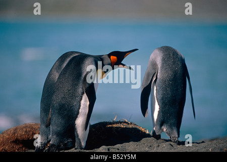Gruppe der Königspinguine Interaktion zusammen am Strand von South Georgia Island Sommer Antarktis - Stockfoto