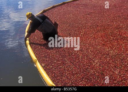 Cranberry-Ernte - Stockfoto