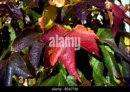 Wildem Wein Herbst Parthenocissus Quinquefolia rot braun golden warm - Stockfoto
