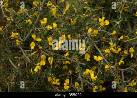Stachelige Besen Calicotome Villosa Blume Andalusien Süd-West-Spanien - Stockfoto