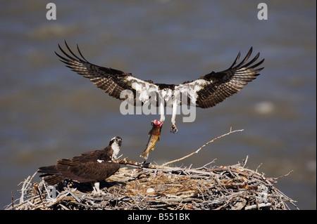 Fischadler Pandion Haliaetus Erwachsene Forelle bringen junge im nest Yellowstone River Yellowstone Nationalpark - Stockfoto