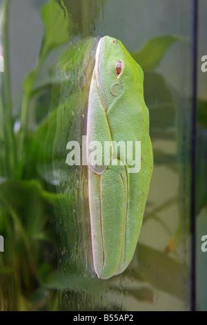 Rotäugigen Baumfrosch auf Glasplatte / Agalychnis Callidryas - Stockfoto