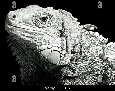 USA, Iguana ist eine Gattung der Eidechse in tropischen Gebieten Mittel- und Südamerika und der Karibik heimisch.