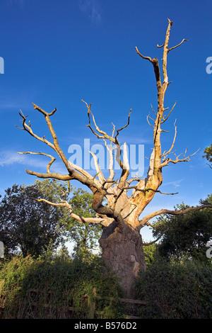 Gog, alten Eiche Baum, Glastonbury, Somerset, England, UK - Stockfoto