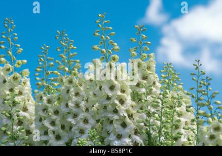 Delphinium elatum 'Feiern' gegen den blauen Himmel und Wolken (Common Name: Rittersporn) - Stockfoto