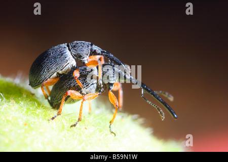 Rüsselkäfer (Curculionidae SP.) paar Paarung - Stockfoto