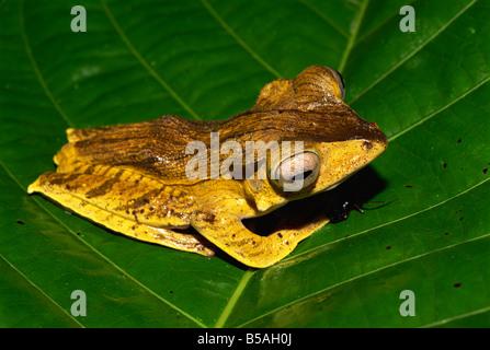 Nicht identifizierte Bornean Laubfrosch Arten im primären Regenwald Danum Valley, Sabah, Borneo, Malaysia, Südost - Stockfoto