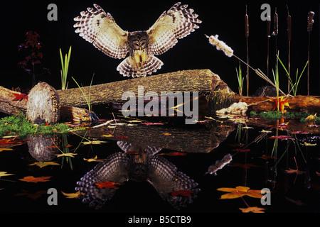 Streifenkauz (Strix Varia), Erwachsene Landung auf Log in Teich, Raleigh, Wake County, North Carolina, USA - Stockfoto