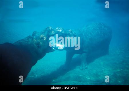 Hippopotame HIPPO WALKING Unterwasser HIPPOPOTAMUS AMPHIBIUS SAN DIEGO ZOO CALIFORNIA African amphibische Amphibius - Stockfoto