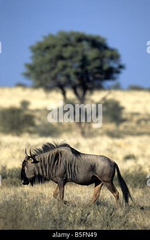 Blaue Gnus Connochaetes Taurinus Kalahari-Wüste Kalagadi Transfrontier Park in Südafrika - Stockfoto