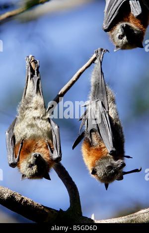 Grey-headed Flying Fox Flattertiere, Pteropus Poliocephalus, Australien - Stockfoto