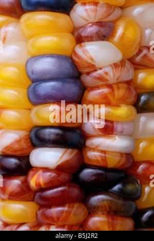 Bunte bunte Mais, Mais, Nahaufnahme - Stockfoto