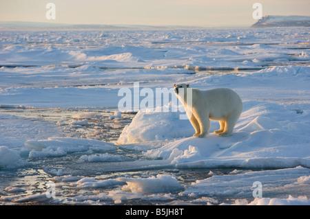 Jung weiblichen Erwachsenen Eisbär auf Packeis - Stockfoto