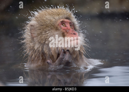 Snow Monkey im Affenpark Jigokudani National Nagano Japan