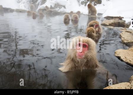 Affenpark Jigokudani National, Nagano, Japan: Japanische Schneeaffen (Macaca Fuscata) im winter