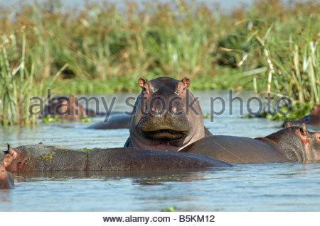Flusspferde im Wasser - Stockfoto