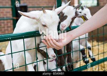 Ein Baby-Lamm und ein Zicklein von Hand auf einem Bauernhof gefüttert - Stockfoto