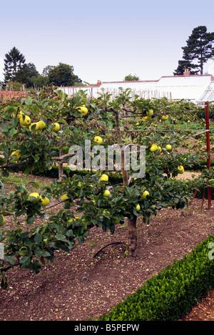 Alten Spalier Apfelfrucht Baumstamme Indre Et Loire Frankreich