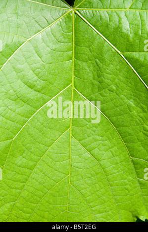 Grünes Blatt, close-up. - Stockfoto
