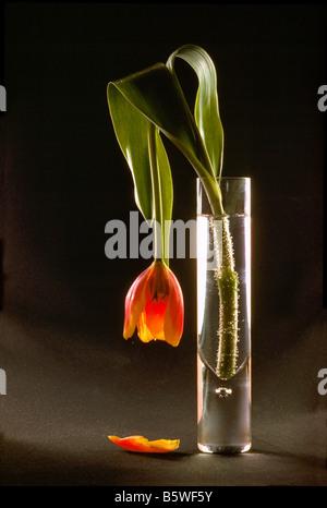 Verwelkte Blume, sterben Red Tulip herabhängenden in Glasvase vor schwarzen Hintergrund - Stockfoto