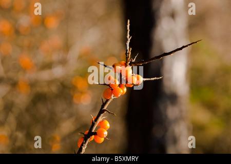 Sanddorn-Beeren im winter - Stockfoto