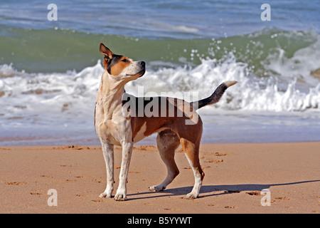 Ein junger Hund den Strand surfen am Praia de Beliche Algarve Portugal Europa - Stockfoto