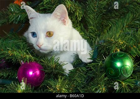 eine einzelne wei e katze mit anderen farbigen augen sitzt in einem weihnachtsbaum geschm ckt. Black Bedroom Furniture Sets. Home Design Ideas