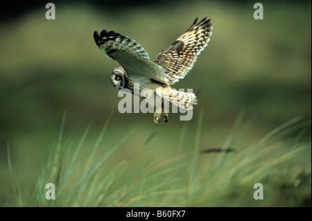 Sumpfohreule (Asio Flammeus) fliegen in den Dünen, Insel Texel, Holland, Niederlande, Europa - Stockfoto