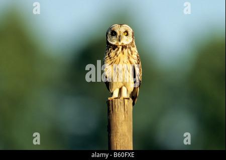 Sumpfohreule (Asio Flammeus) sitzt auf einem Zaun Pfosten, Hansag Nationalpark, Burgenland, Österreich, Europa - Stockfoto