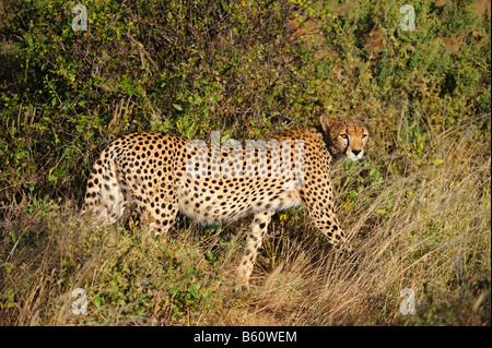 Gepard (Acinonyx Jubatus) im Morgengrauen, Samburu National Reserve, Kenia, Ostafrika, Afrika - Stockfoto