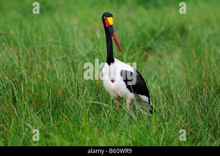 Sattel – abgerechnet Stork (Nahrung Senegalensis), Sweetwater Game Reserve, Kenia, Afrika - Stockfoto
