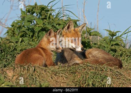 Rotfüchse (Vulpes Vulpes) - Stockfoto