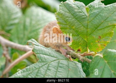 Hazel Dormouse (Muscardinus Avellanarius), pup - Stockfoto