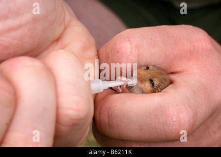 Hazel Dormouse (Muscardinus Avellanarius), pup, Kraftunterschied Hand gefüttert - Stockfoto
