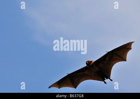 Fliegende Füchse / Obst-Fledermäuse in Thailand - Stockfoto