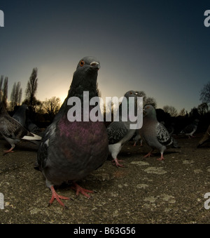 Tauben Columba Livia in einem Londoner park - Stockfoto