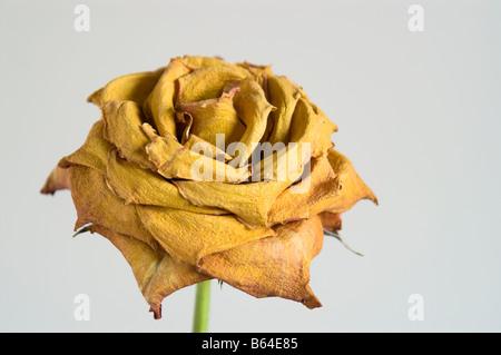 Einzelne getrocknete gelbe rose auf einfachen Hintergrund - Stockfoto