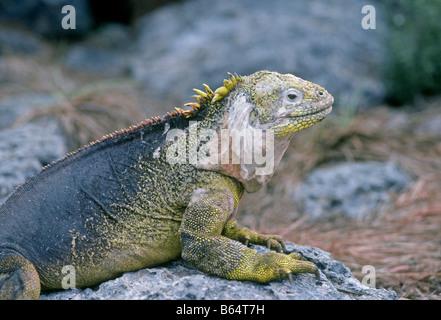 Die Galapagos Land Iguana Conolophus Subcristatus ist eine Art von Eidechse in der Familie Iguanidae, Galapagos - Stockfoto