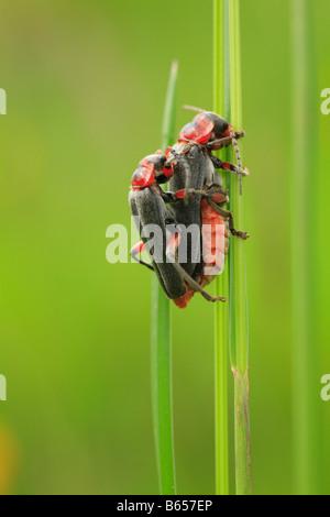 Paarung Weichkäfer (Cantharis Rustica). Powys, Wales. - Stockfoto