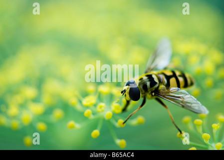 Hoverfly gehockt Blütenstand - Stockfoto