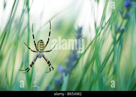 Großer Argiope Spider im Zentrum des Web gesponnen zwischen Blütenstiele im Garten - Stockfoto
