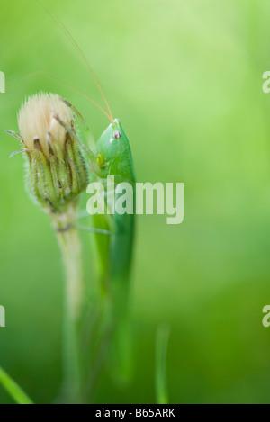 Heuschrecke Fütterung auf Blütenknospe - Stockfoto