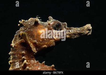 Kurze snouted Seepferdchen Hippocampus Hippocampus Piran Adria Slowenien - Stockfoto